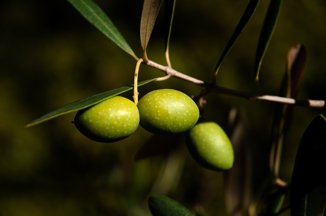 Picture - olives on branch