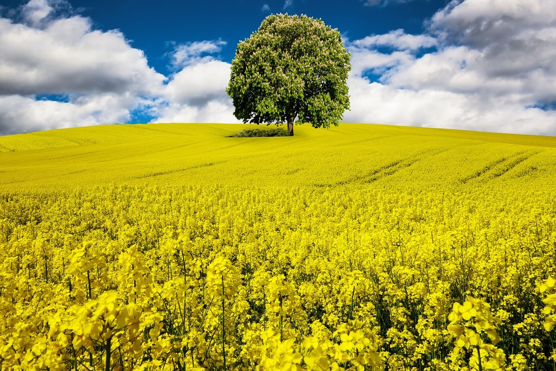 Picture - a field of rapeseeds